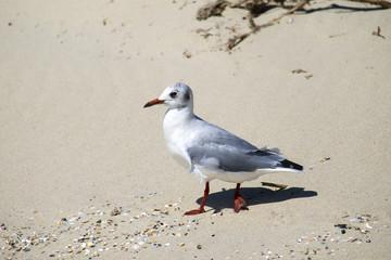 Slender-billed gull walks along the sandy beach (Chroicocephalus genei)