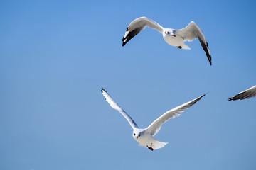 Slender-billed gulls in flight against the blue sky (Chroicocephalus genei)