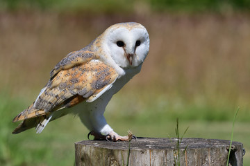 Portrait of a barn owl (tyto alba) perching on a wooden post Fototapete
