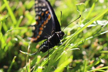 Canadian Tiger Swallowtail on a grass background. close up macro.