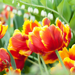 beautiful bright red with yellow tulips blossom in the park or in the garden