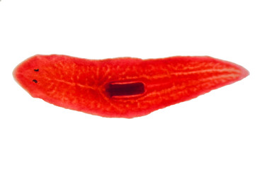 Planaria flatworm under microscope view.