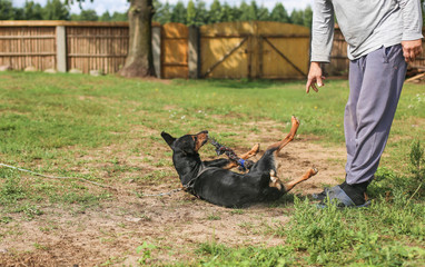 training aggressive dog German pinscher. the hunting dog.