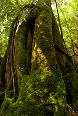 Yakushi growing up in Yakushima is said to grow huge in a special environment.Yakushima is a world heritage in Japan.