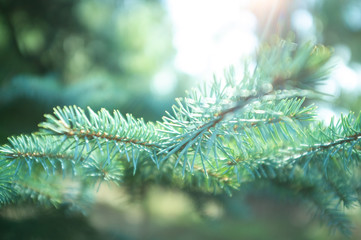 Green needles on branches of conifer tree on blurred sunny background