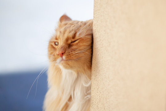 Ginger cat rubbing against a wall with copy space