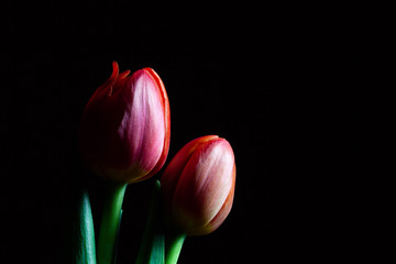 Two red tulips on black with copy space