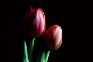 Closeup of two beautiful red tulips isolated on black background with copy space