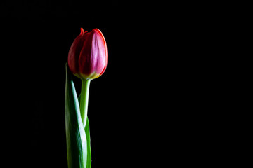 Closeup of red tulip isolated on black with copy space