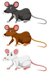 Three different colour of rat