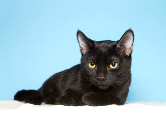 Adorable black kitten with yellow eyes laying on a fluffy white blanket looking slightly down to viewers left. Blue background with copy space.