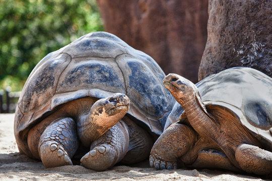 Two Galapagos Tortoises having a conversation