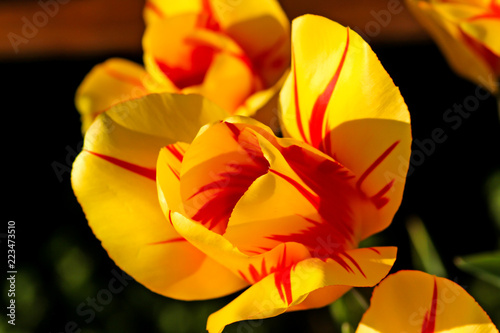 Pretty yellow and red flower blooms stock photo and royalty free pretty yellow and red flower blooms mightylinksfo