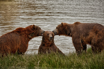 The Three Bears eating ears or telling secrets