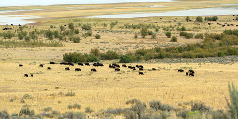 A herd of Bison or Buffalo grazes on the windswept prairie by the shore of Antelope Island State Park in the middle of Utah's Great Salt Lake