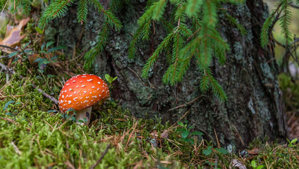 Amanita muscaria Toadstool Mushroom in a Forest