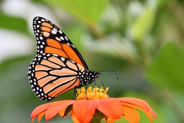 Monarch butterfly on a Zinnia flower.