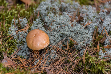 Mushroom in a Deep Primeval Forest in Latvia