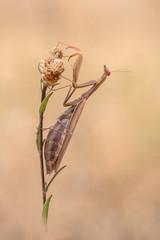 Braune Mantis Dame
