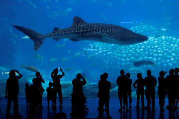 Visitors watch a whale shark in Zhuhai