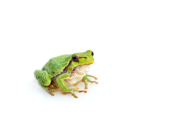 green european common frog Hyla meridionalis on white background