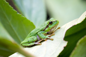 green european common frog Hyla meridionalis on green leaves background