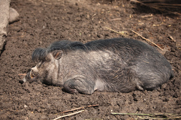 The pig lives on a farm, agriculture, lies in the mud