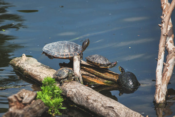 Family of turtles resting on the lake
