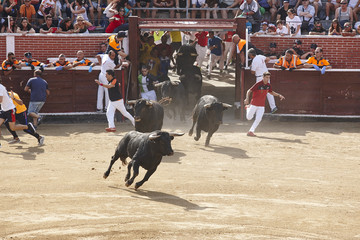 Fighting bulls in the arena. Bullring. Encierros San Sebastian Reyes