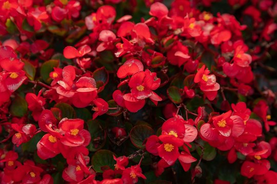 Beautiful of Red begonia in the garden