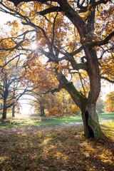 hollow oak