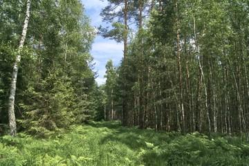 droga pożarowa w lesie mieszanym zarośnięta trawą i paprociami