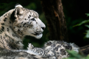 Snow leopard mother with cub. (Panthera uncia)
