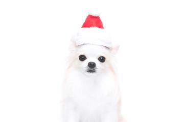 サンタ帽をかぶるチワワ