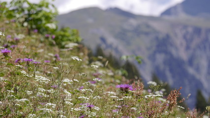 Bergwiese Alpen Pflanzen
