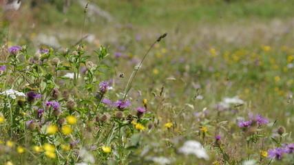 Alpenwiese Sommer Kräuter