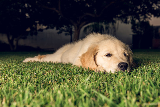 Portrait of a puppy golden retriever dog very pretty and adorable. Puppy sleeping on the lawn