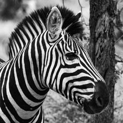 Aluminium Prints Wild zebra stallion portrait, showing face and mane from side, black and white