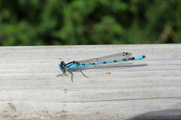 Common blue damselfly resting on a wooden fence