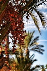 Dates on a palm tree in the municipal park of Elche