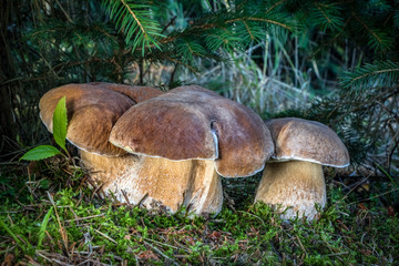 Group of boletus edulis mushrooms in moss under spruce tree