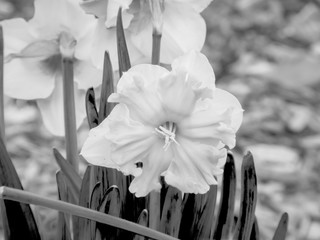 black and white flowers in spring