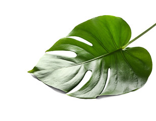 Fresh tropical monstera leaf on white background