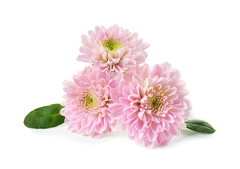 Beautiful chrysanthemum flowers on white background