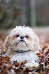 Adorable blond Shih Tzu standing in colorful autumn leaves.