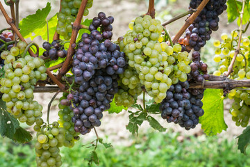 Pinot Grigio grape variety. Pinot Grigio is a white wine grape variety that is made from grapes with grayish, white red, and or purple skins. Trentino Alto Adige, Italy. Guyot Vine Training System