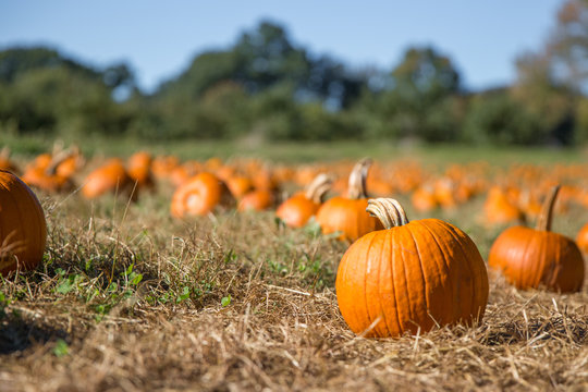 pumpkin patch. fresh orange pumpkins on a farm field. Rural landscape. Copy space for your text. Blurred background
