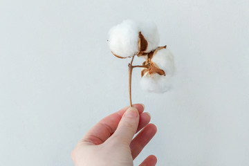 Woman hand holds beautiful white cotton flower on white background. Fabric cloth softness natural organic farm allergy concept