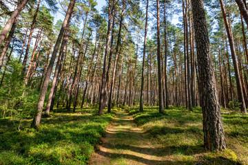 droga przez las sosnowy