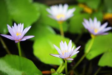 Wall Mural - gruop of beautiful lotus flower blooming in pond.